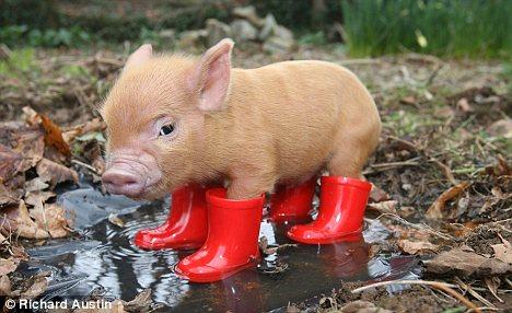 """真是一只相当有""""唇红齿白""""之感的猪……"""