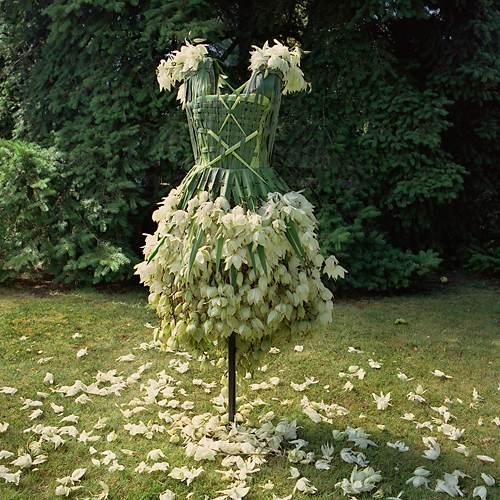 丝兰,龙舌兰科植物
