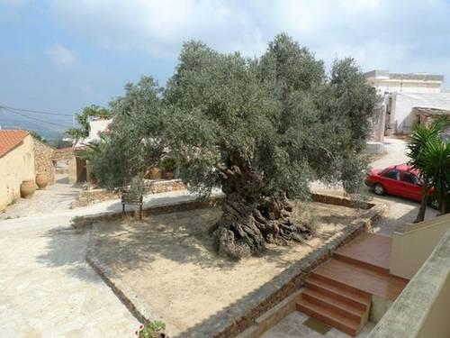 原来橄榄树这么普通的植物居然可以活这么久