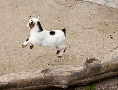 山羊喜欢跳山羊